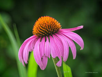 Echinacea aglow by Mogrianne