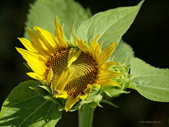 Almost open sunflower by Mogrianne