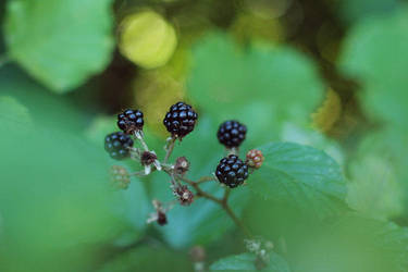 Blackberries by thedaydreaminggirl