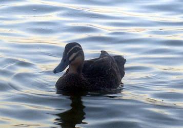 'Duck' by littlemikey