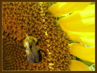 Bee by arkansawyer