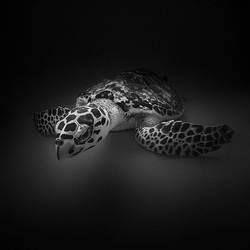 Turtle by Hengki24