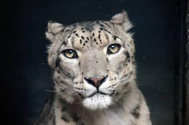 Snow Leopard II by CharlieRoz