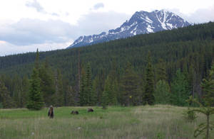Banff bears by makobsan