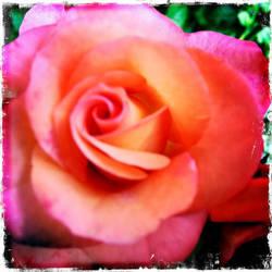 Rose by athena41398