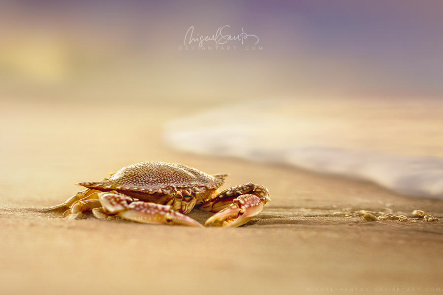 Crab Cribrarius by Miguel-Santos