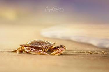 Crab Cribrarius by Miguel-Santos