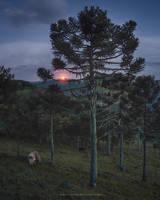 Araucaria Moonlight by Miguel-Santos