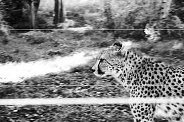 Cheetah by merkero