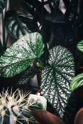 Begonia spec. by merkero