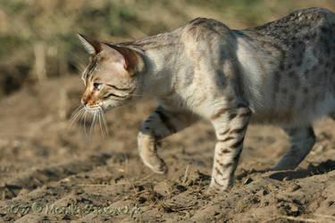 Bengal cat by Manu-NordicStorm