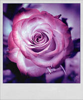 Vintage Rose by ValentinaKallias