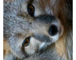 Bundle of Fox by DanidaeSkye