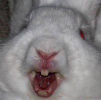 Killer Rabbit of Caerbannog by DanidaeSkye