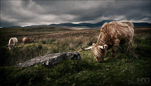 Highland Cows by nahojsennah