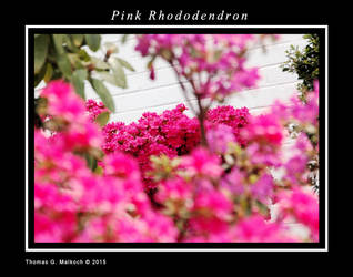 Pink Rhododendron by mottymotty