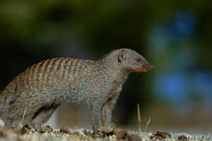 Banded Mongoose by NagWolf