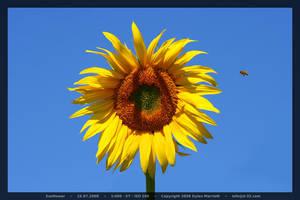 Sunflower by D-32