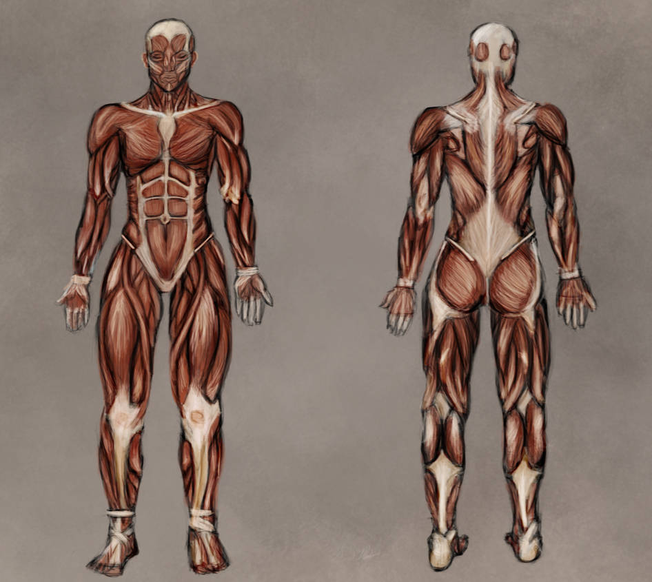 Drawing Muscle Anatomy Topsimages