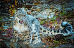 Snow Leopard by Msorger