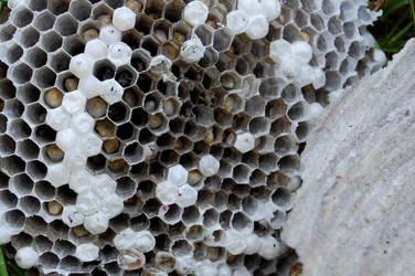 Paper wasp colony by dragonariaes