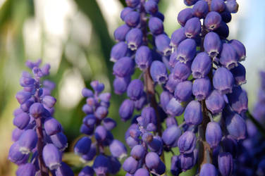 Bluebells by dragonariaes