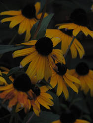 Black Eyed Susans by DragonPress