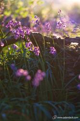 Purple Bluebells by adamlack