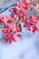 Spring Pink by adamlack