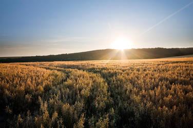 Field of Gold by adamlack