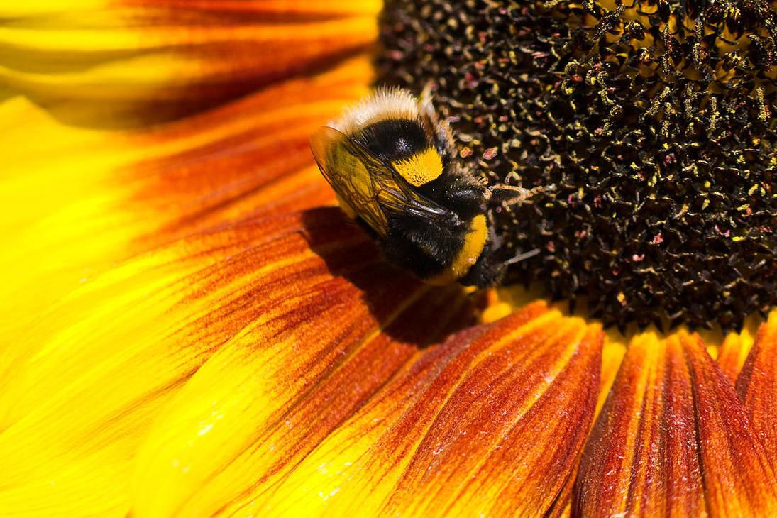 Bumblebee by adamlack