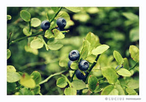 Bilberry by LuciusThePope