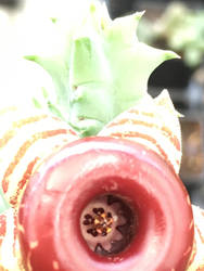 Lifesaver plant by Kira-Jones