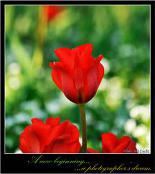Red tulip by criss-ac