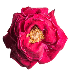 Rose HD .PNG by MattiaMc