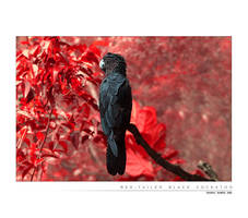 Red Tailed Black Cockatoo by Saurav
