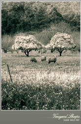 Vineyard Sheeps by Saurav