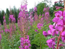 Fields of Foxgloves by andrewcollinson
