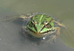 Froggy in my pond by almightysquid