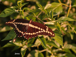 swallow tail by jcphotos