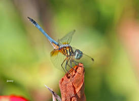 dragonfly5 by jcphotos