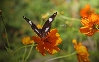 Black Butterfly by jcphotos