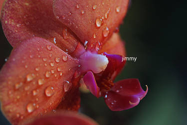 Orchid by jcphotos