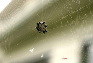 spiny spider by jcphotos