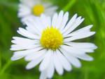 Daisy, Daisy by wonderfulrachel