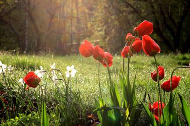 Tulip rain by Syzygi