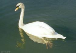 The Beauty of a Swan by BlackSweetness