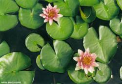 Waterlilies original by BlackSweetness