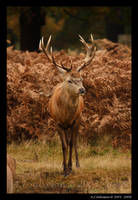 Red Deer Stag by andy-j-s