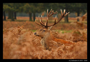 Red Deer Stag II by andy-j-s